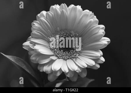 Beautiful gerbera flower in a closeup. Looks a bit like daisy flower. In this photo you can see the blooming flower in black & white photo. - Stock Photo