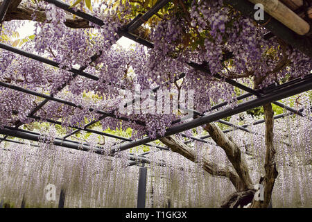 Purple Wisteria Floribunda flowers hanging on a trellis in Kyoto, Japan - Stock Photo
