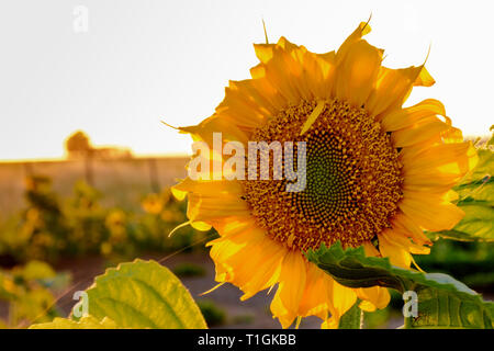 Scene view of sunflowers during warm sunset in summer - Stock Photo