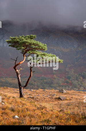 Scots Pine Tree above Loch Maree backed by Slioch, Wester Ross, Scottish Highlands, UK - Stock Photo