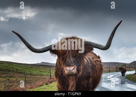 Highland Cattle near Elgol, Isle of Skye, Inner Hebrides, Scotland, UK - Stock Photo