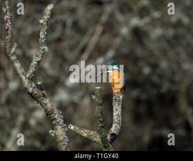 Kingfisher, Teifi Marshes, Welsh Wildlife Centre, Wales - Stock Photo