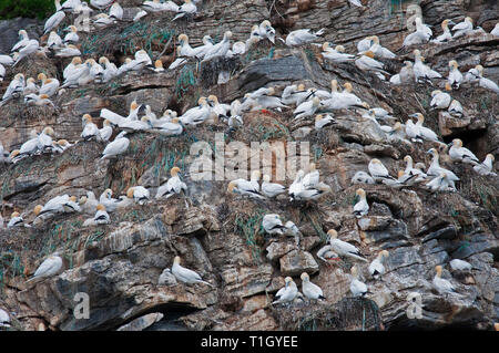 Northern gannet colony (Morus bassanus) nesting on the cliff, Gjesværstappan Islands,County Finnmark, Norway - Stock Photo