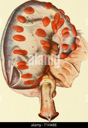 The diseases of the genital The diseases of the genital organs of domestic animals  diseasesofgenita00will Year: 1921 - Stock Photo