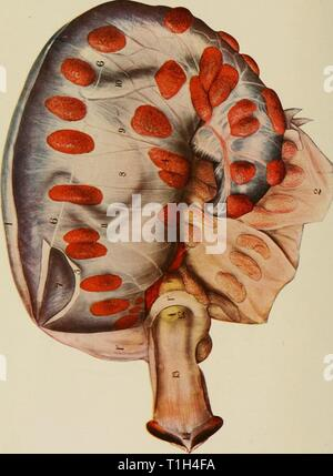 The diseases of the genital The diseases of the genital organs of domestic animals  diseasesofgenita01will Year: 1921 - Stock Photo