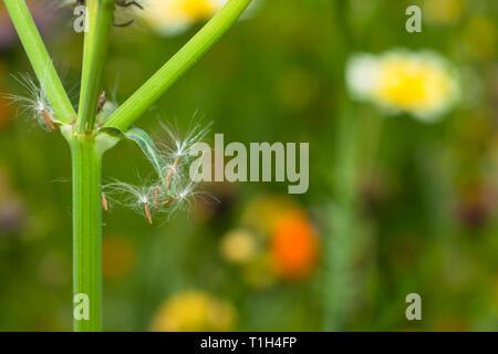 macro shot ofwildflower dandelion hairy seeds on a green stem. - Stock Photo