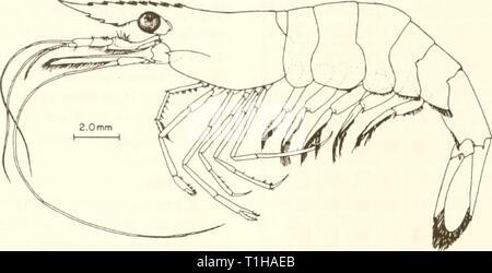 1 cm (from Heard 1979) Common Name: grass shrimp Scientific