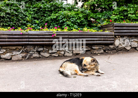 Homeless sad abandoned stray dog mutt lying down on sidewalk pavement sleeping in Rivne, Ukraine street - Stock Photo