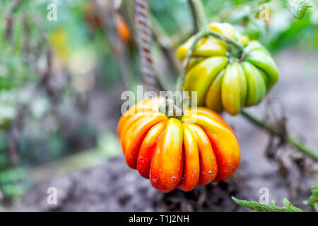 Macro closeup large ripe orange red unripe heirloom colorful tomato hanging growing on plant vine in garden leaves - Stock Photo