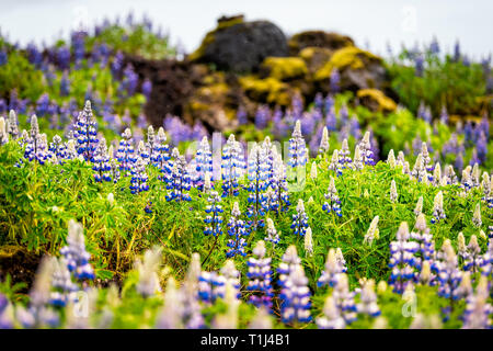 Colorful blue and purple lupine flowers in Iceland with blurred background bokeh and blossoms during rain cloudy day - Stock Photo