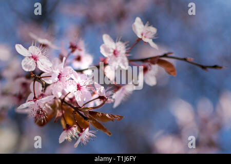 Japanese cherry blossoms against a blue bokeh background, close-up - Stock Photo