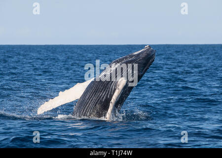 A young Humpback whale, Megaptera novaeangliae, breaches out of the blue waters of the Caribbean Sea.