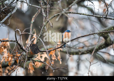 Blue male bluebird bird perched on oak tree during winter spring autumn in Virginia with vibrant color and rain drops - Stock Photo