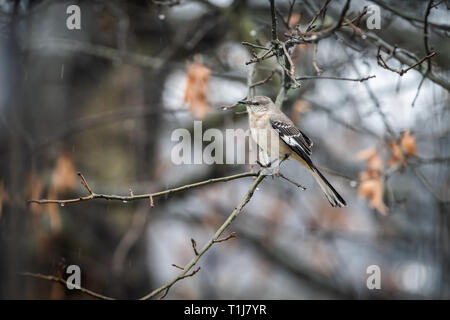 Wet one northern mockingbird bird sitting perched on oak tree branch during winter with bokeh background and spring rain on rainy day in Virginia and  - Stock Photo