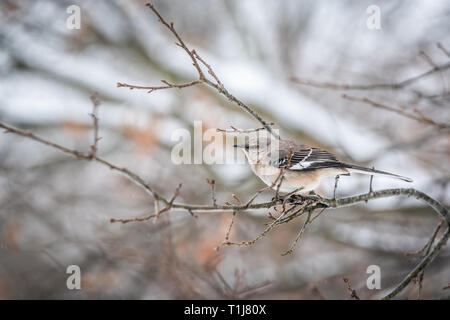 One northern mockingbird bird sitting perched on oak tree branch during winter with bokeh background in Virginia - Stock Photo