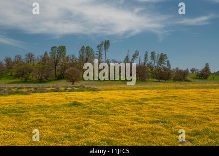 Wildflower super bloom. Field of yellow flowers. Carrizo Plain, California - Stock Photo