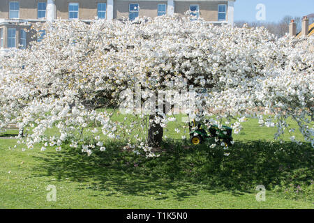 Newlyn, Cornwall, UK. 27th Mar, 2019. UK Weather. Bright sunny afternoon at Wherrytown, near Newlyn in Cornwall. Gardeners were out mowing the grass around this blossom tree. Credit: Simon Maycock/Alamy Live News - Stock Photo