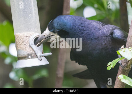 Stirlingshire, Scotland, UK. 27th Mar, 2019. a rook using its intelligence to access sunflower seeds in a bird feeder in a Stirlingshire garden. Much too large to perch on the feeder, and unable to reach the seeds inside, the rook could just manage to stretch and grab the perch in its beak. It then pulled the feeder towards itself before letting it go again in a swinging motion. As the feeder swung back towards the rook it was close enough for it to quickly grab a beakful of seeds, repeating the feat several times before being disturbed Credit: Kay Roxby/Alamy Live News - Stock Photo