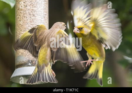 Stirlingshire, Scotland, UK. 27th Mar, 2019. UK weather - greenfinches fighting over food brighten up an otherwise dull day in Stirlingshire Credit: Kay Roxby/Alamy Live News - Stock Photo