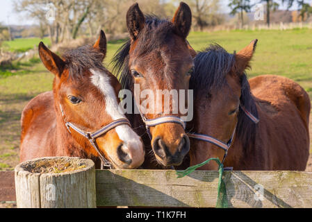 Avon Valley, Fordingbridge, New Forest, Hampshire, UK, 27th March 2019. Three foals in a field come close together to have a nosey look over the fence in warm afternoon spring sunshine. Credit: Paul Biggins/Alamy Live News - Stock Photo