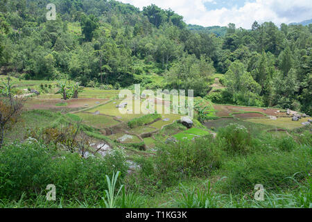 Green and brown rice terrace fields in Tana Toraja, South Sulawesi, Indonesia - Stock Photo