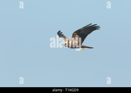 A magnificent Marsh Harrier, Circus aeruginosus, flying in the blue sky. - Stock Photo