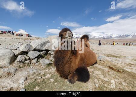 Camel at Lake Karakul, Xinjiang (China) - Stock Photo