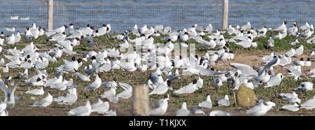 Mediterranean Gull colony - Stock Photo
