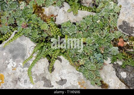 Livelong Saxifrage (Saxifraga paniculata) and Maidenhair spleenwort (Asplenium trichomanes) growing in limestone rock crevices, Picos de Europa, Spain - Stock Photo