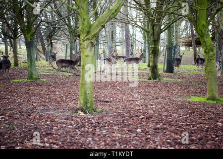 Deers in Phoenix Park, Ireland - Stock Photo