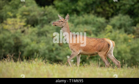 Summer nature scenery of curious wild red deer, cervus elaphus, hind walking cautiously. Alerted animal from european nature.