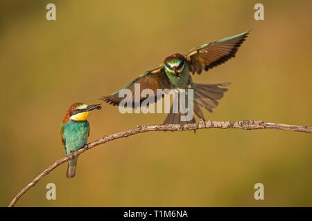 Pair of european bee-eaters, merops apiaster with a catch. Two colorful exotic looking birds. Action wildlife scenery with one bird holding insect in  - Stock Photo