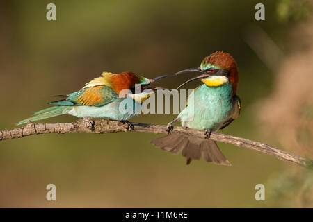 Pair of european bee-eaters, merops apiaster fighting. Two colorful exotic looking birds having a conflict. Action wildlife scenery. - Stock Photo