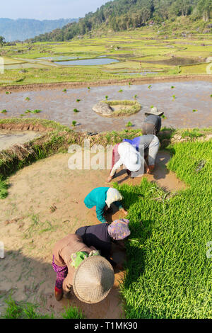 Rice farmers planting their crop in terraces in Toraja, Central Sulawesi, Indonesia - Stock Photo