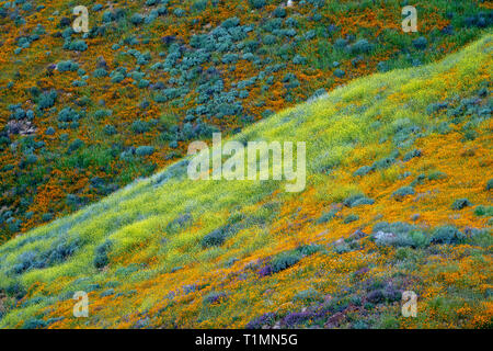 Hills of poppies and other mixed wildflowers in Walker Canyon in Lake Elsinore California during a spring superbloom - Stock Photo