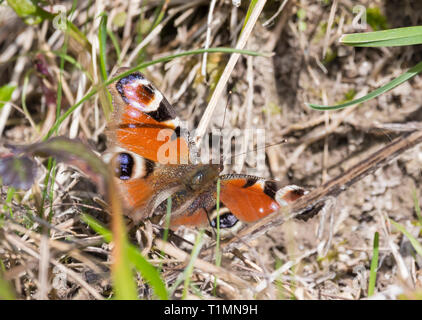 European Peacock Butterfly (Aglais io) on the ground in Spring in West Sussex, UK. - Stock Photo