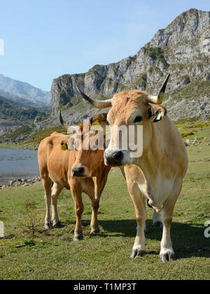 Asturian mountain cattle (Bos taurus) standing on pastureland around Lake Ercina, Lakes of Covadonga, Picos de Europa, Asturias, Spain, August. - Stock Photo