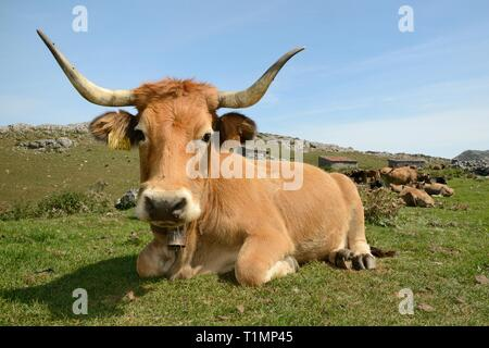 Asturian mountain cows (Bos taurus) resting near traditional stone livestock barns or 'majadas', Majada de las Bobias, Lakes of Covadonga, Spain. - Stock Photo