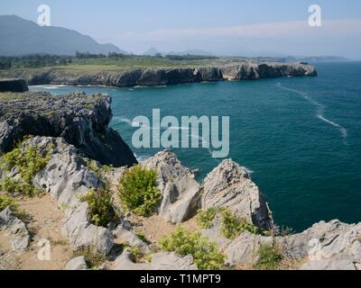 Rock samphire (Chrithmum maritumum) flowering on the limestone sea cliffs at Pria, Asturias, Spain, August. - Stock Photo