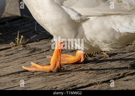 The orange legs and webbed feet of a white Pekin Duck - Stock Photo