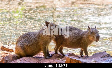 two baby capybaras on the river's edge - Stock Photo