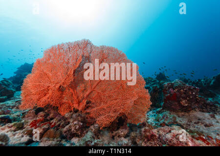 Closeup of gorgeous deep orange Gorgonian sea fan on reef filled with colorful varieties of sponges and corals - Stock Photo