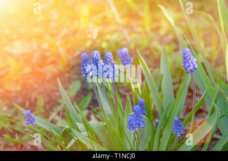Blue Scilla Siberian. Early flowering pleases the human eye. Blue snowdrops in the spring forest. The first spring flowers. - Stock Photo