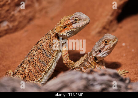 Two young bearded dragons close up in its terrarium - Stock Photo