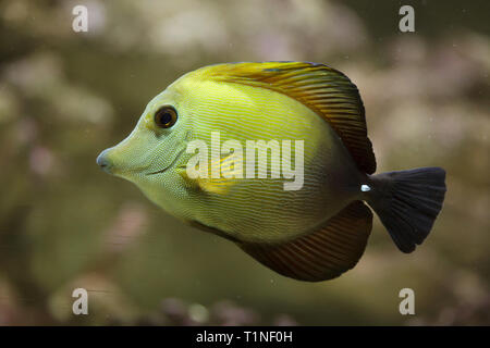 Brown tang (Zebrasoma scopas), also known as the brown surgeonfish. - Stock Photo