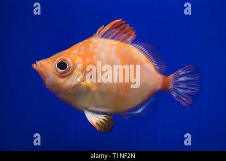 Boarfish (Capros aper). Marine fish. - Stock Photo
