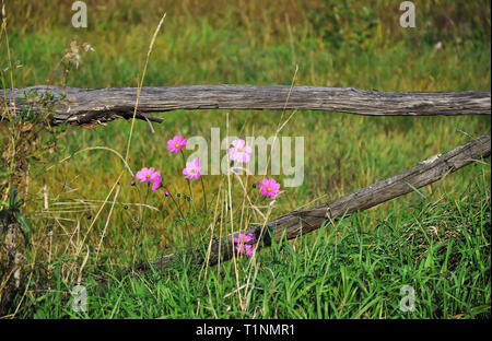 High pink flowers grow near the old wooden the fence amid high grass. summer - Stock Photo