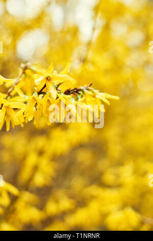 Early blooming yellow Forsythia flowers. Forsythia x intermedia, europaea. Forsythia is a garden bush that blooms in the spring. Selective focus. Copy - Stock Photo