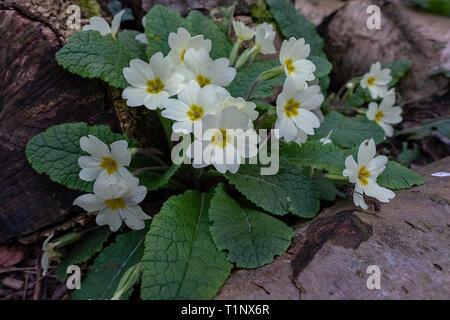 Wild Primrose(Primula vulgaris) growing between a group of logs in a Norfolk garden uk. - Stock Photo