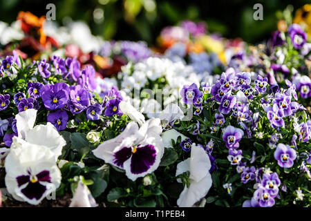 Spring: purple primroses in selective focus amidst a group of mixed colored flowers in bokeh - Stock Photo